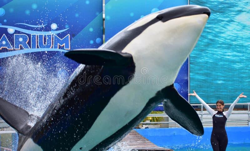 Ο εκπαιδευτής κοριτσιών στη φάλαινα δολοφόνων παρουσιάζει στοκ φωτογραφία