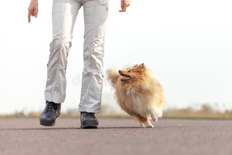Ο εκπαιδευτής σκυλιών δίνει σε ένα τσοπανόσκυλο Shetland μια απόλαυση στοκ φωτογραφίες με δικαίωμα ελεύθερης χρήσης