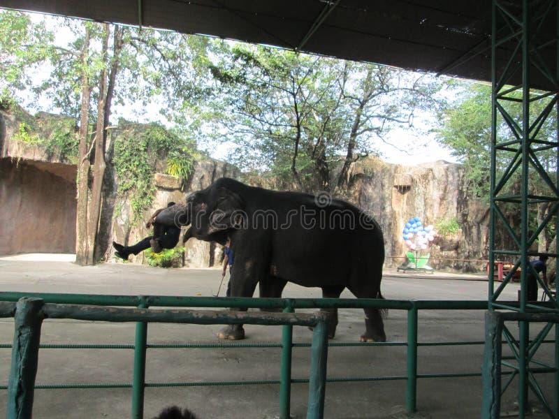 Ο ελέφαντας παρουσιάζει στο ζωολογικό κήπο της Ταϊλάνδης στοκ εικόνες με δικαίωμα ελεύθερης χρήσης