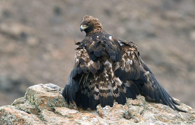Ο ενήλικος βασιλικός αετός θέτει με το θήραμά του στο βράχο στοκ φωτογραφία