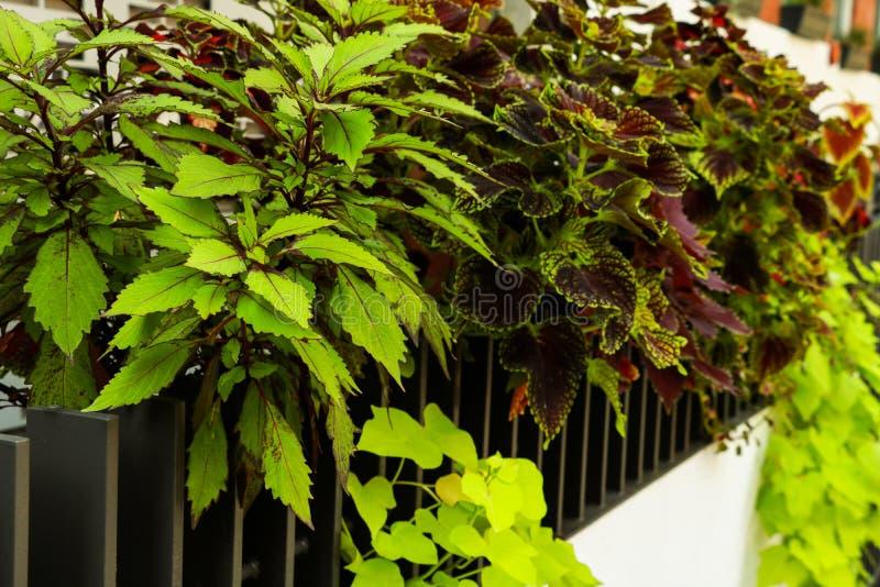 Ο εξωτικός Begonia rex ανεμιστήρας διαμόρφωσε τα φύλλα με φωτεινό πορτοκαλί underside στοκ εικόνες με δικαίωμα ελεύθερης χρήσης