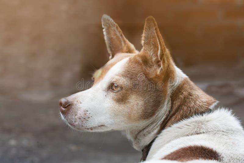 Ο επικεφαλής ενός άσπρου σκυλιού με τα άσπρα και καφετιά σημεία στον ήλιο, το σκυλί χαμογελά, κινηματογράφηση σε πρώτο πλάνο στοκ εικόνες με δικαίωμα ελεύθερης χρήσης