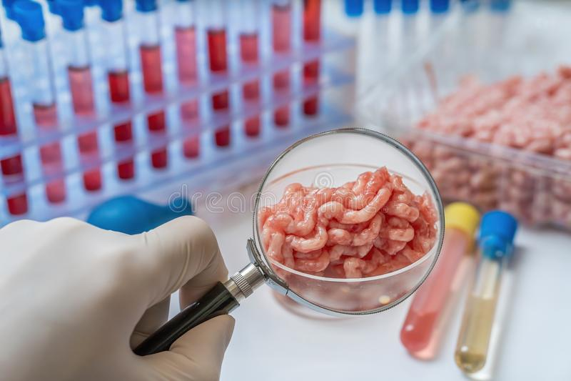 Ο επιστήμονας εξετάζει και επιθεωρεί το κρέας για τα μικρόβια Ποιοτική έννοια τροφίμων στοκ εικόνα