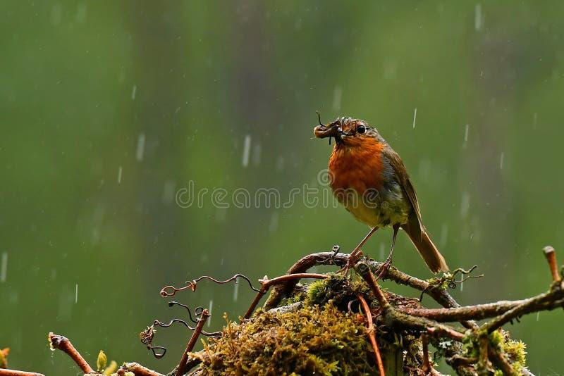 Ο ευρωπαϊκός Robin, rubecula Erithacus έχει τα παιδιά που ταΐζουν στοκ εικόνες