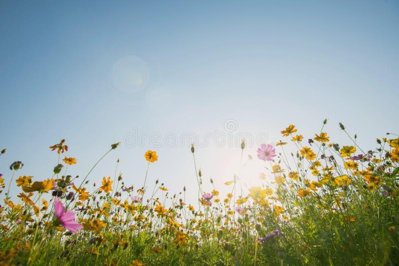 Ο ζωηρόχρωμος κόσμος ανθίζει τον τομέα με το μπλε ουρανό και το φως του ήλιου Φρέσκο φυσικό υπόβαθρο στοκ εικόνα με δικαίωμα ελεύθερης χρήσης