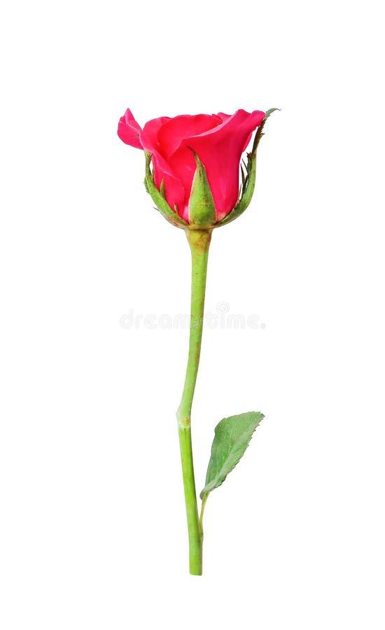 Ο ζωηρόχρωμος οφθαλμός κόκκινος αυξήθηκε πηγαίνοντας στην άνθιση με τα πράσινα φύλλα και το μίσχο που απομονώθηκε στο άσπρο υπόβα στοκ φωτογραφία με δικαίωμα ελεύθερης χρήσης