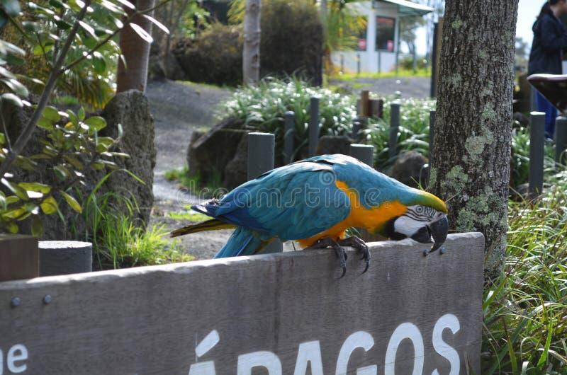 Ο ζωηρόχρωμος παπαγάλος macaw στο ξύλινο σημάδι παίρνει έτοιμος να πετάξει μακριά στοκ εικόνα
