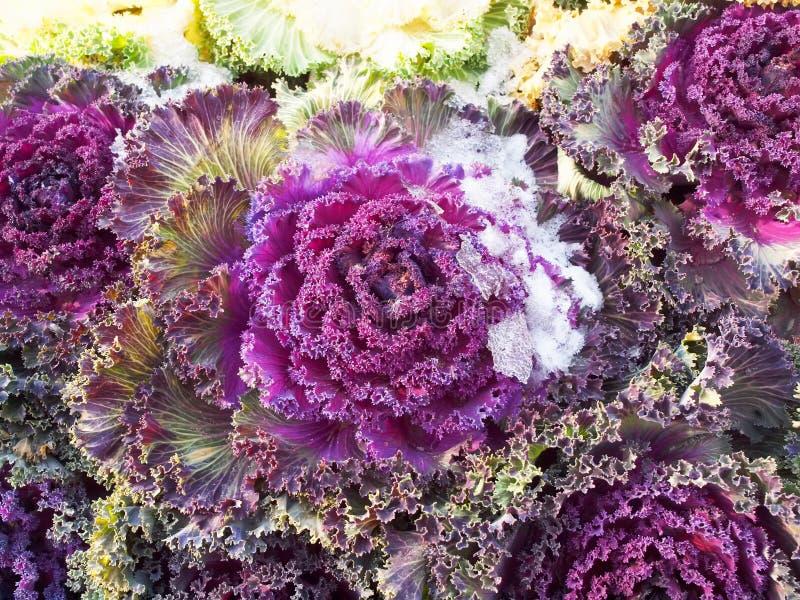 Ο ζωηρόχρωμος Kale στοκ εικόνες