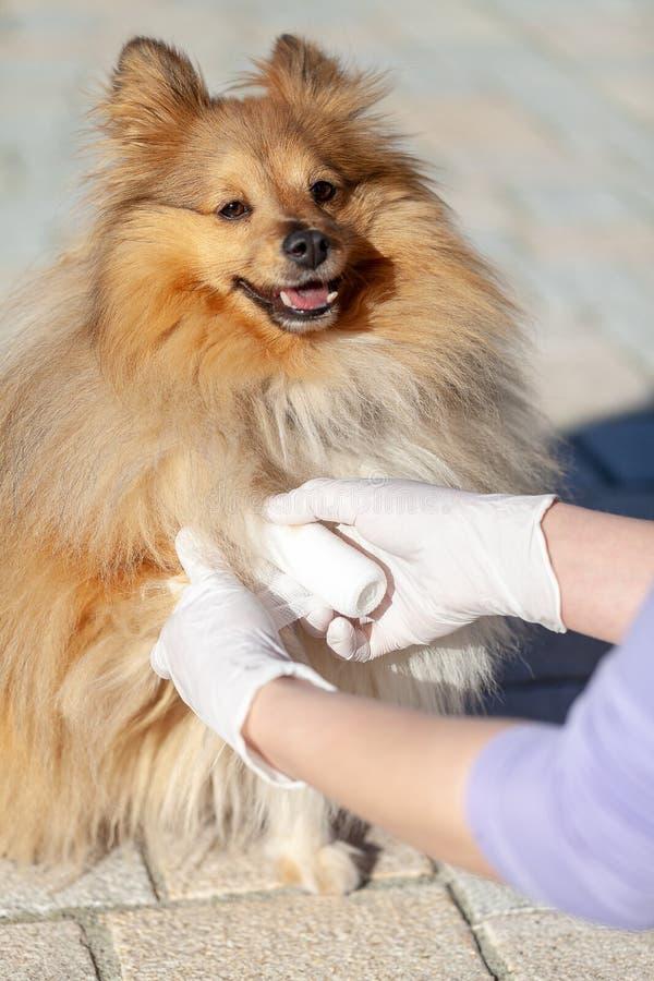 Ο ζωικός γιατρός βάζει έναν επίδεσμο σε ένα τσοπανόσκυλο Shetland στοκ φωτογραφία με δικαίωμα ελεύθερης χρήσης