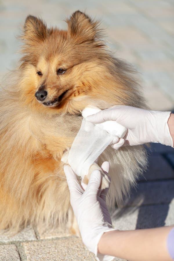 Ο ζωικός γιατρός βάζει έναν επίδεσμο σε ένα τσοπανόσκυλο Shetland στοκ εικόνες