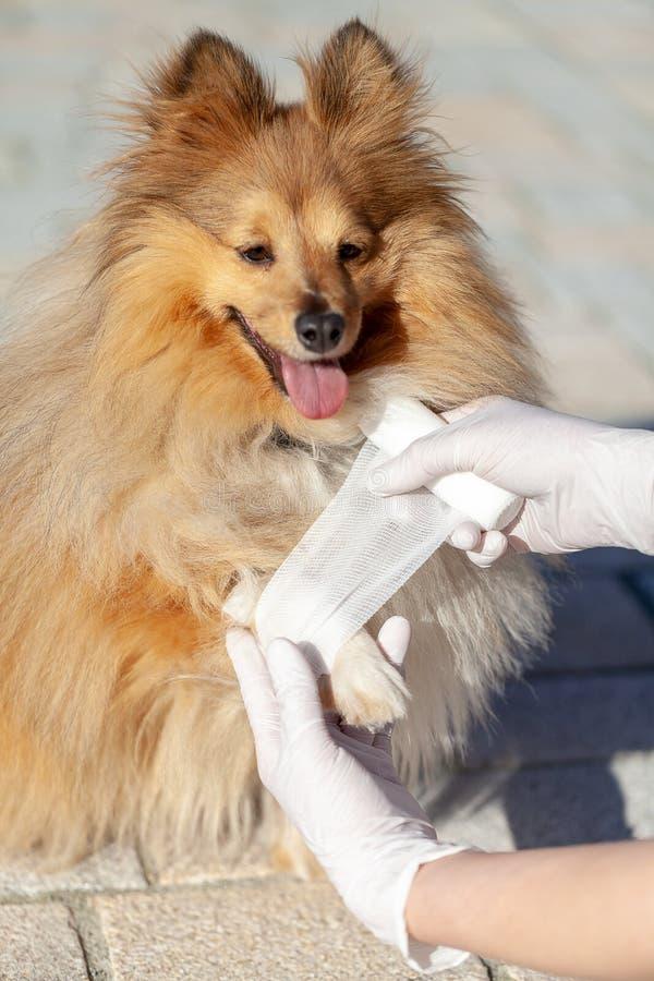 Ο ζωικός γιατρός βάζει έναν επίδεσμο σε ένα τσοπανόσκυλο Shetland στοκ φωτογραφία
