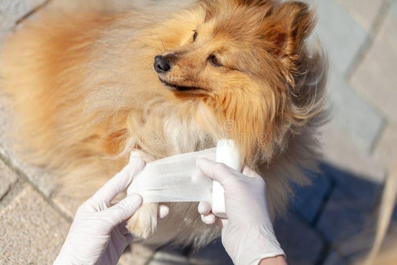 Ο ζωικός γιατρός βάζει έναν επίδεσμο σε ένα τσοπανόσκυλο Shetland στοκ φωτογραφίες