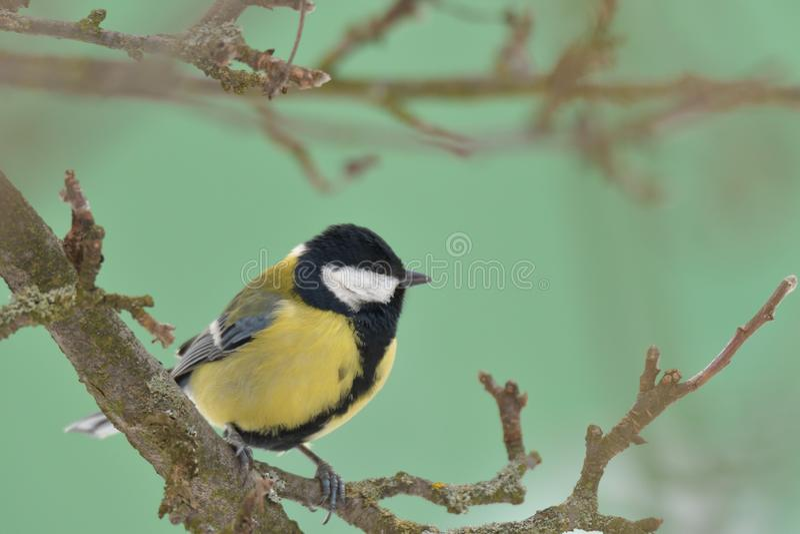 Ο ηλίανθος σίτισης πουλιών tomtit στο επίγειο χιόνι το χειμώνα κοντά επάνω ται4'ζει το ράφι με το κεχρί ηλίανθων στοκ φωτογραφία με δικαίωμα ελεύθερης χρήσης