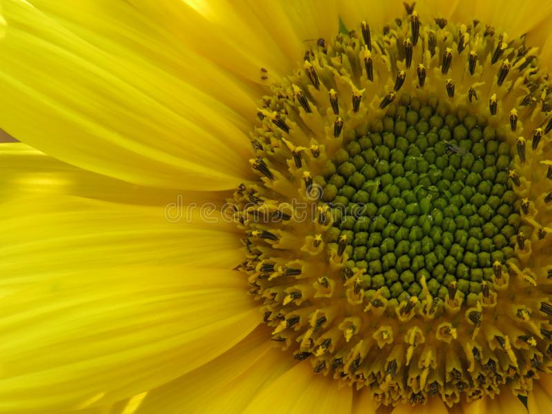 Ο ηλίανθος χρυσός και φωτεινός κάνει καθένας την ημέρα! στοκ εικόνα
