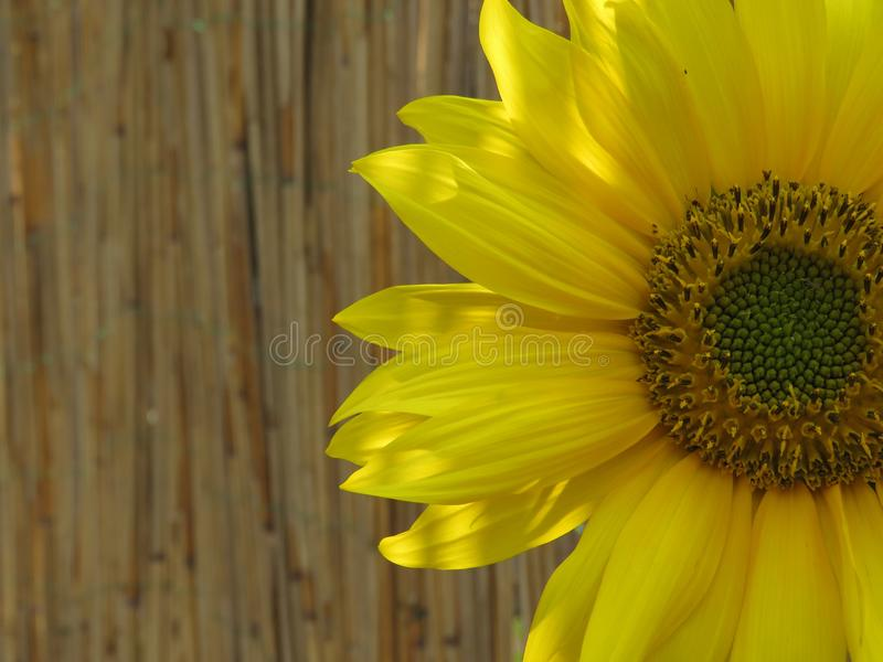 Ο ηλίανθος χρυσός και φωτεινός κάνει καθένας την ημέρα! στοκ φωτογραφία με δικαίωμα ελεύθερης χρήσης