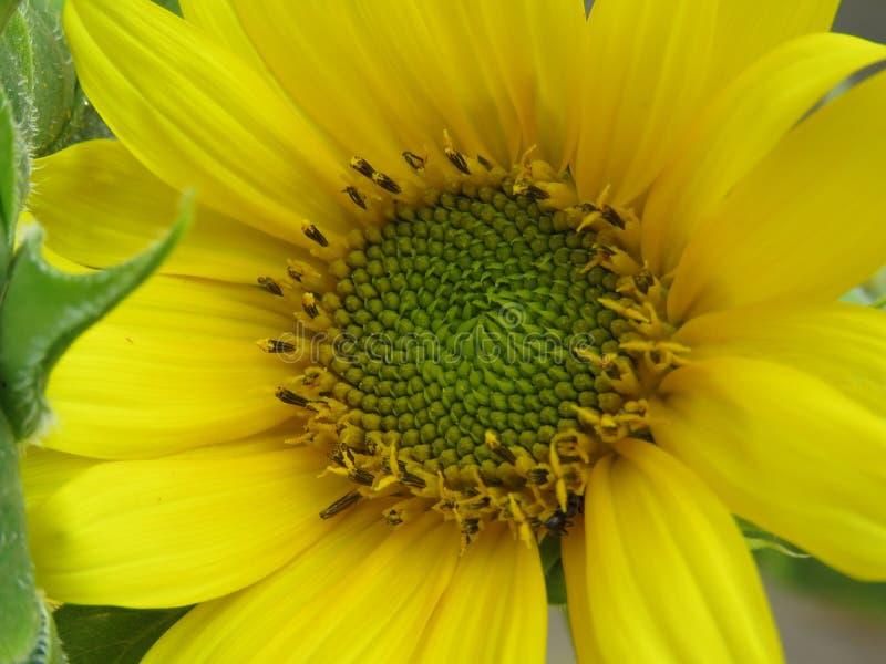Ο ηλίανθος χρυσός και φωτεινός κάνει καθένας την ημέρα! στοκ εικόνα με δικαίωμα ελεύθερης χρήσης