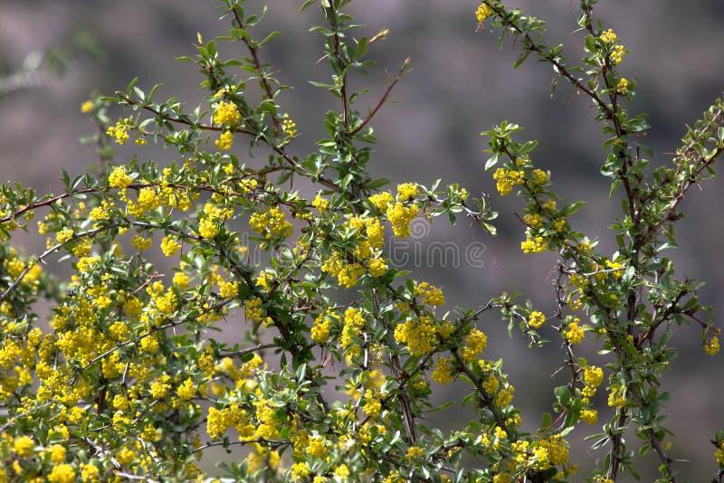 ο θάμνος ανθίζει κίτρινο πεδίο βάθους ρηχό βαμμένος στοκ εικόνα με δικαίωμα ελεύθερης χρήσης