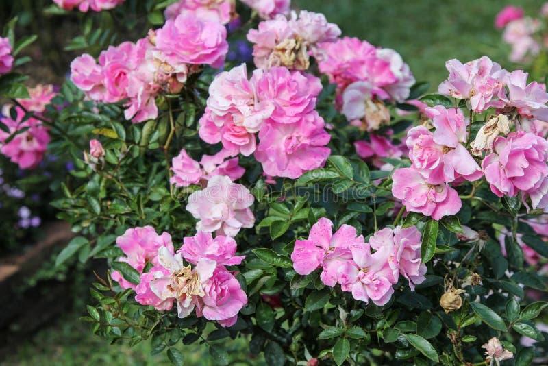 Ο θάμνος ρόδινος αυξήθηκε δέντρο στον κήπο λουλουδιών στοκ εικόνες με δικαίωμα ελεύθερης χρήσης