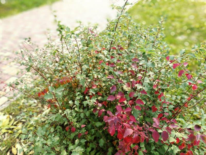 Ο θάμνος των φρέσκων πορφυρών και κόκκινων Vulgaris φρούτων Berberis διακλαδίζεται ο Μπους πράσινο Barberry το φθινόπωρο στοκ φωτογραφία με δικαίωμα ελεύθερης χρήσης