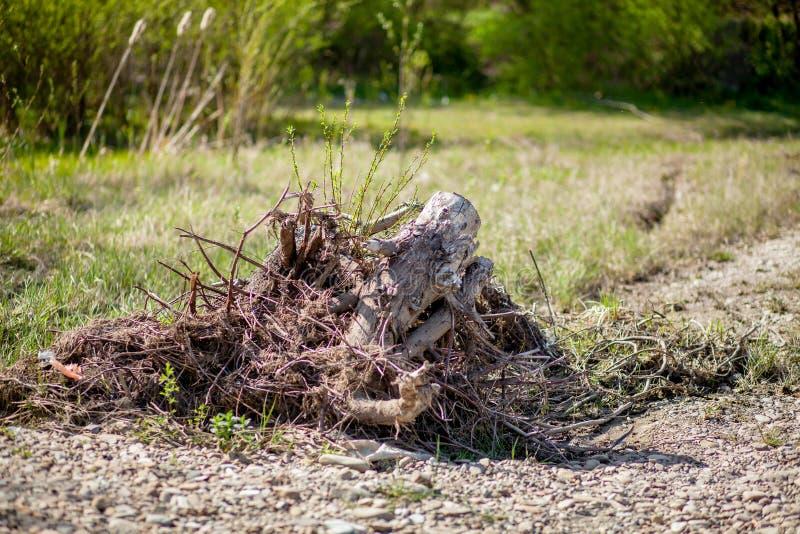 Ο θάνατος των ελιών λόγω της κατασκευής των δέντρων δρόμων παίρνει άγρια σκοτωμένος, τεμαχισμένος κάτω και χώρια στοκ εικόνες