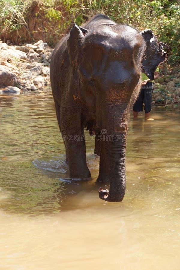 Ο θηλυκός ελέφαντας απολαμβάνει το καθημερινό λουτρό της στοκ φωτογραφία με δικαίωμα ελεύθερης χρήσης