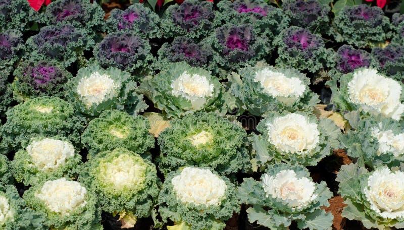Ο διακοσμητικός με φύλλα Kale στοκ φωτογραφία με δικαίωμα ελεύθερης χρήσης