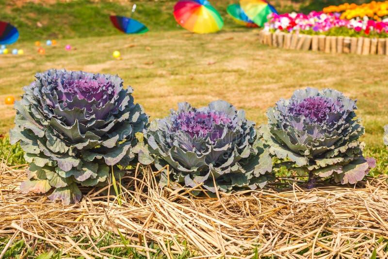 Ο διακοσμητικός με φύλλα Kale στοκ εικόνες με δικαίωμα ελεύθερης χρήσης