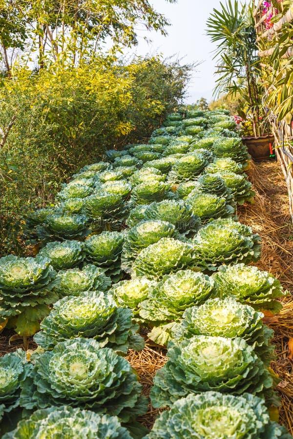 Ο διακοσμητικός με φύλλα Kale στοκ φωτογραφία