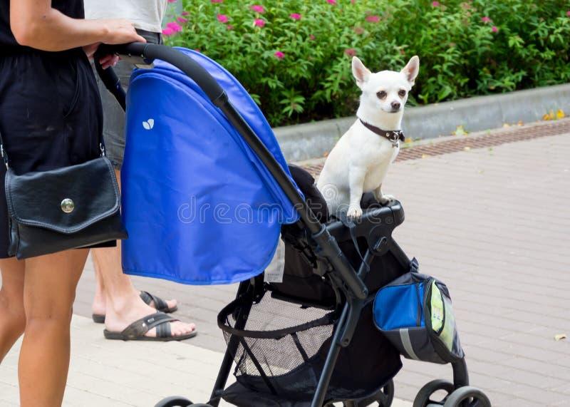 Ο ιδιοκτήτης φέρνει το σκυλί του σε ένα καροτσάκι στοκ εικόνα