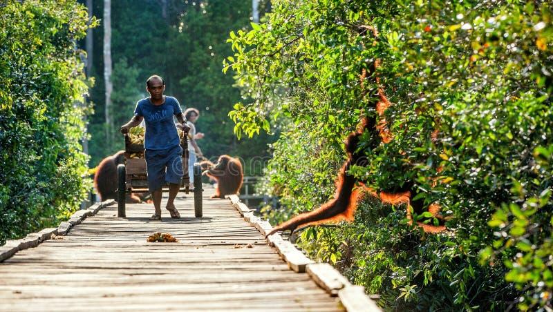 Ο ινδονησιακός υπάλληλος του εθνικού πάρκου κυλά στο κάρρο των πρυμνών για orangutans στο στρατόπεδο αποκατάστασης στοκ φωτογραφίες με δικαίωμα ελεύθερης χρήσης