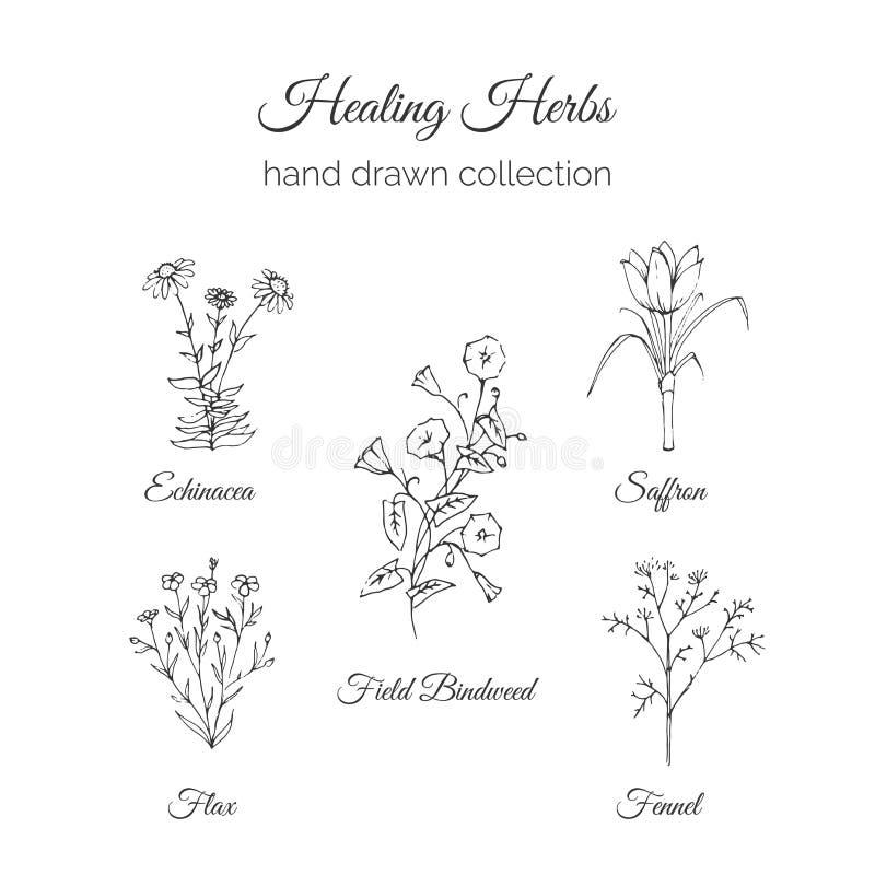 ολιστική ιατρική Θεραπεύοντας απεικόνιση χορταριών Echinacea, λινάρι, Bindweed τομέων, σαφράνι και μάραθο Διανυσματικό Ayurvedic ελεύθερη απεικόνιση δικαιώματος