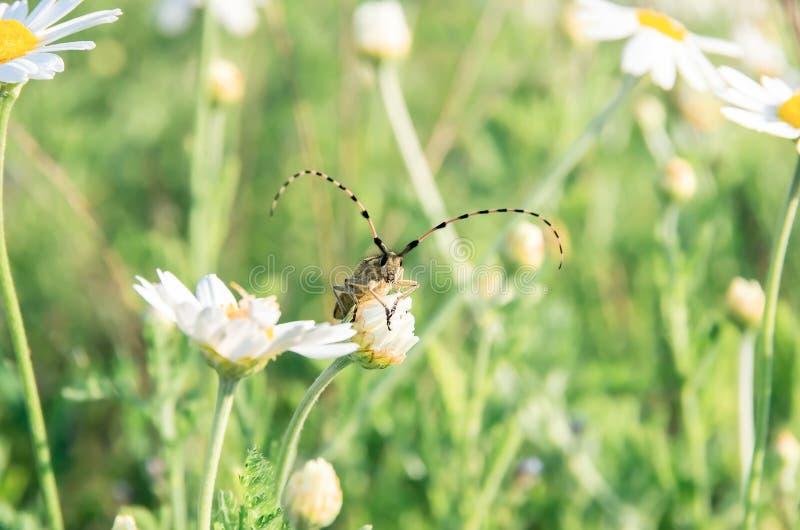 Ο κάνθαρος βάρβων κάθεται σε ένα chamomile λουλούδι στοκ εικόνα