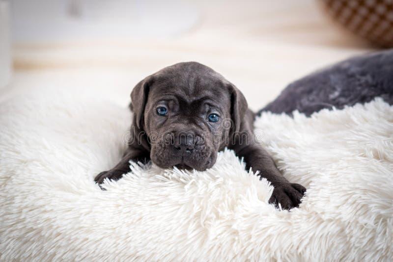 Ο κάλαμος Corso φυλής σκυλιών κουταβιών βρίσκεται σε ένα μαξιλάρι στοκ εικόνα