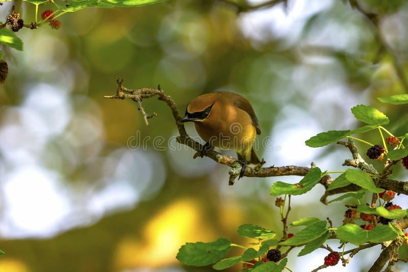 Ο κέδρος που το δέντρο μουριών cedrorumin Bombycilla στοκ εικόνες με δικαίωμα ελεύθερης χρήσης