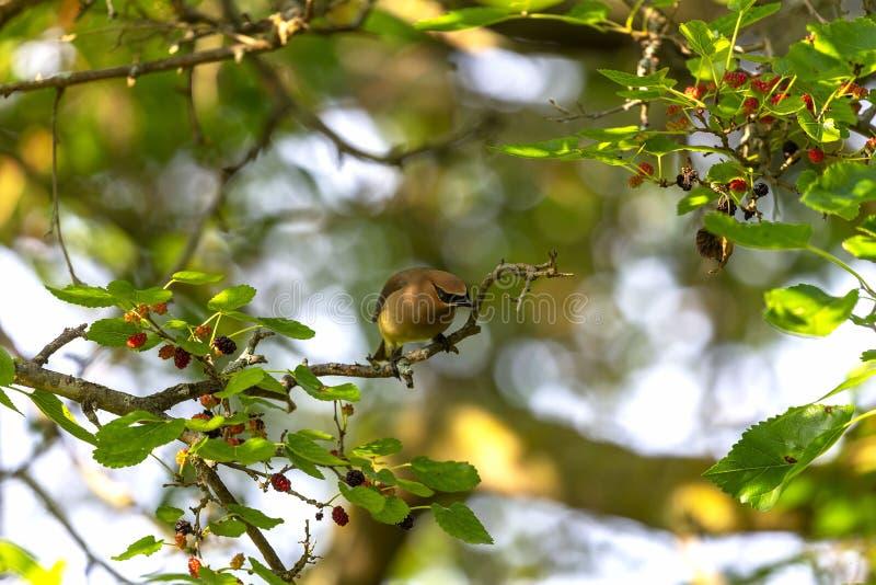 Ο κέδρος που το δέντρο μουριών cedrorumin Bombycilla στοκ εικόνες