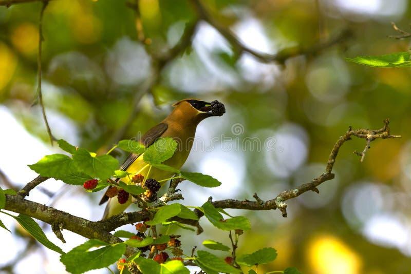 Ο κέδρος που το δέντρο μουριών cedrorumin Bombycilla στοκ φωτογραφία με δικαίωμα ελεύθερης χρήσης