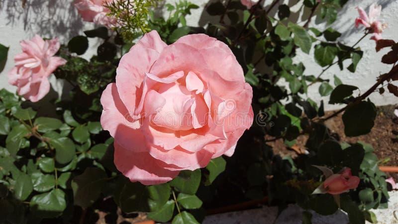 Ο κήπος άνοιξη αυξήθηκε στοκ φωτογραφία με δικαίωμα ελεύθερης χρήσης