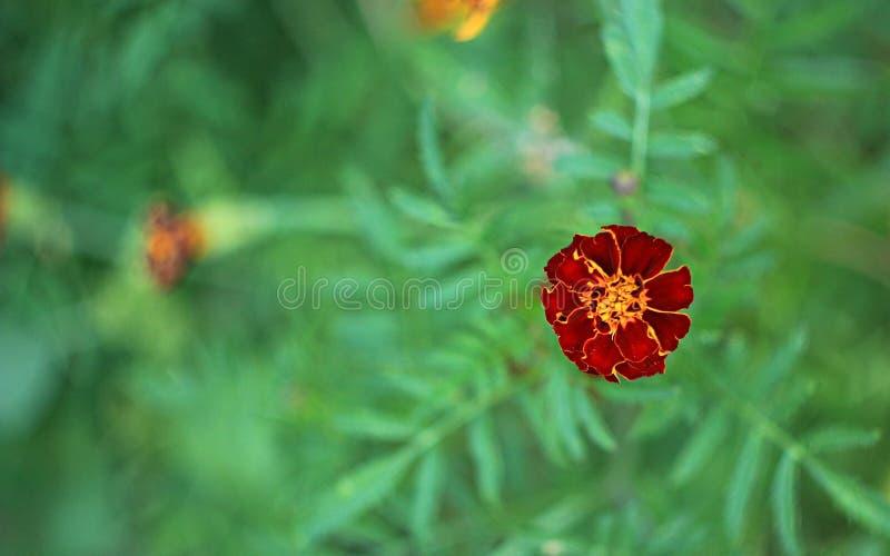 Ο κήπος Makro ανθίζει το πορτοκαλί καλοκαίρι χρώματος χρώματος πράσινο στοκ εικόνα με δικαίωμα ελεύθερης χρήσης