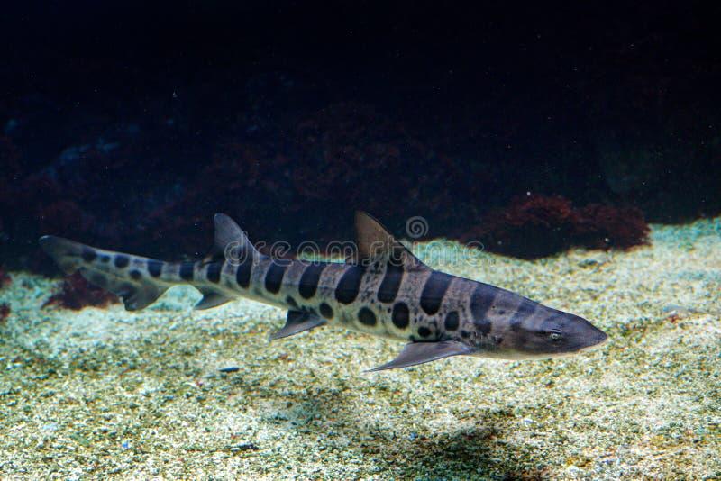 Ο καρχαρίας λεοπαρδάλεων, semifasciata Triakis, είναι ένα είδος houndshark, οικογένεια Triakidae από τη παράλια Ειρηνικού της Βόρ στοκ εικόνα με δικαίωμα ελεύθερης χρήσης
