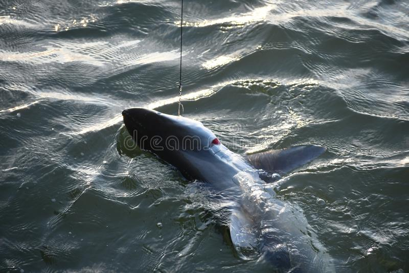 Ο καρχαρίας τύλιξε μέσα από την αποβάθρα νησιών Tybee στοκ φωτογραφία με δικαίωμα ελεύθερης χρήσης