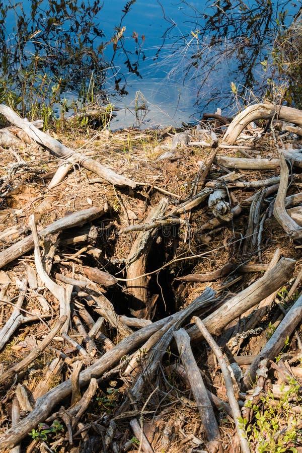 Ο καταρρεσμένος κάστορας κατοικεί από μια δασική λίμνη στοκ φωτογραφίες με δικαίωμα ελεύθερης χρήσης