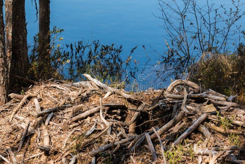Ο καταρρεσμένος κάστορας κατοικεί από μια δασική λίμνη στοκ φωτογραφία