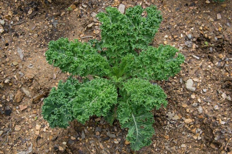 Ο κατσαρωμένος Kale στοκ φωτογραφίες με δικαίωμα ελεύθερης χρήσης