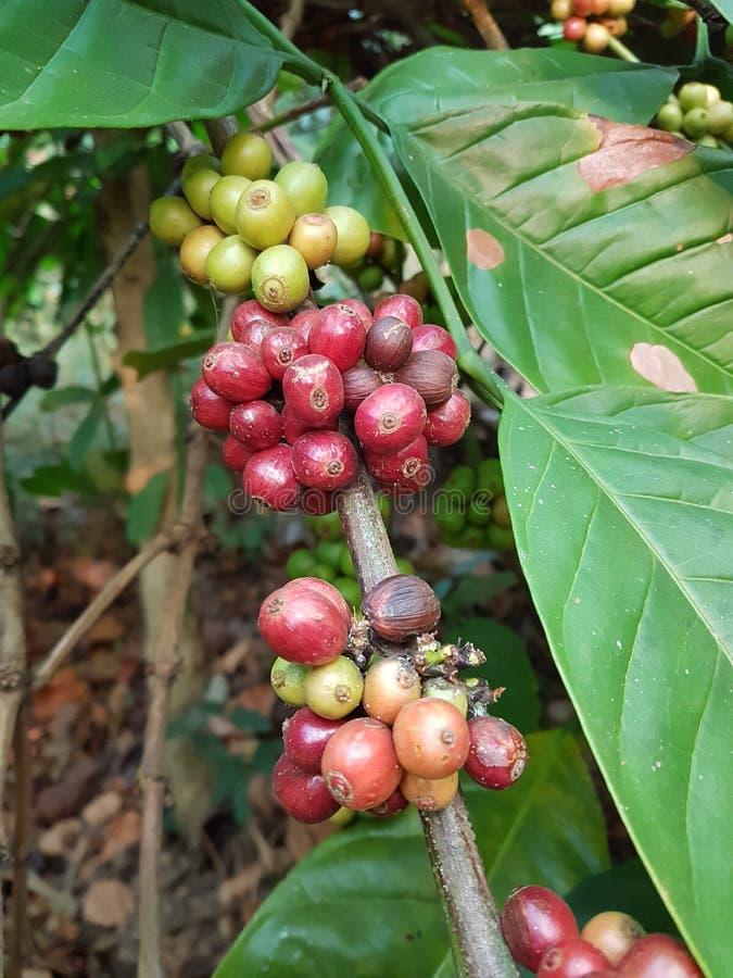 ο καφές που έρχεται αφήνει έξω το μίσχο σπόρων φυτών στοκ φωτογραφία