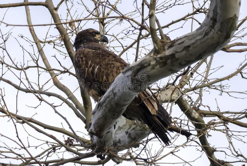 Ο καφετής νεανικός φαλακρός αετός εσκαρφάλωσε στο δέντρο στο φράγμα Conowingo στον ποταμό Susquehanna, Μέρυλαντ, ΗΠΑ στοκ φωτογραφία με δικαίωμα ελεύθερης χρήσης