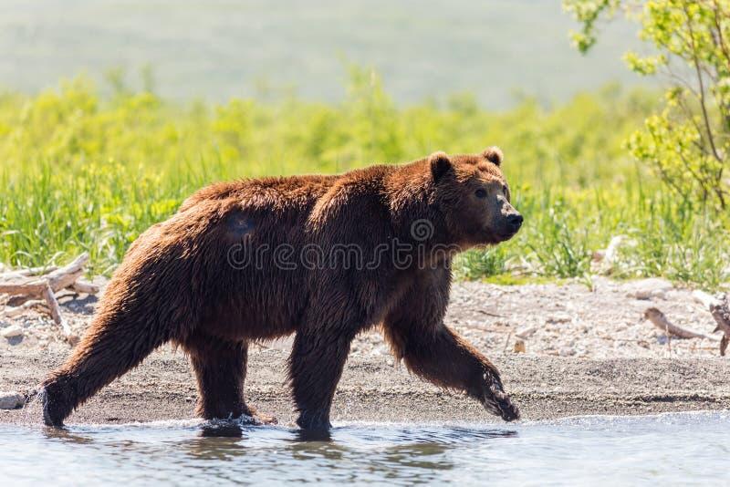 Ο καφετής πληγωμένος αντέχει το beringianus arctos Ursus πηγαίνοντας κατά μήκος της λίμνης Kamchatka, Ρωσία στοκ εικόνα με δικαίωμα ελεύθερης χρήσης