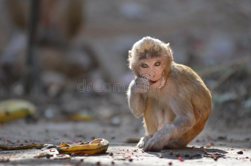Ο καλός πίθηκος τρώει την μπανάνα στοκ φωτογραφία με δικαίωμα ελεύθερης χρήσης