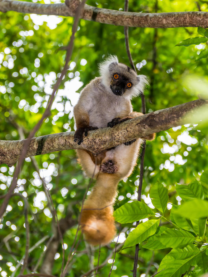 Ο κερκοπίθηκος στην ακριβή επιφύλαξη Lokobe σε αδιάκριτο είναι, Μαδαγασκάρη στοκ εικόνα