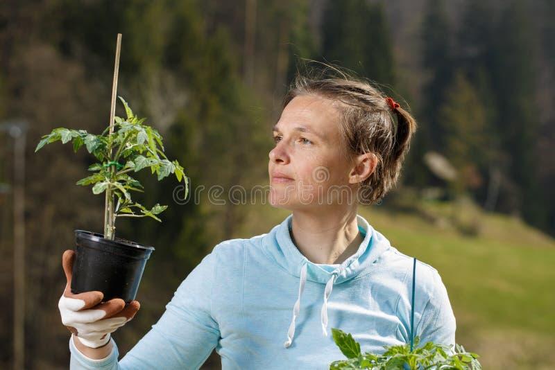 Ο κηπουρός γυναικών που προσέχει τα σπορόφυτα ντοματών της προετοιμάστηκε να φυτευτεί στον κήπο της στοκ φωτογραφία