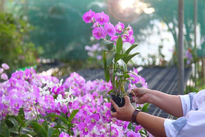 Ο κηπουρός ελέγχει την πορφυρή ορχιδέα λουλουδιών για το παράσιτο και την ασθένεια στο βρεφικό σταθμό για τον ποιοτικό έλεγχο στοκ εικόνα
